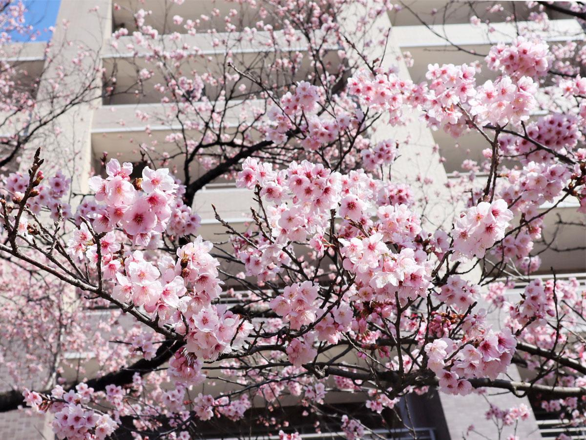 見頃を迎えた「ハリウッドの大寒桜」(2021年2月28日撮影)
