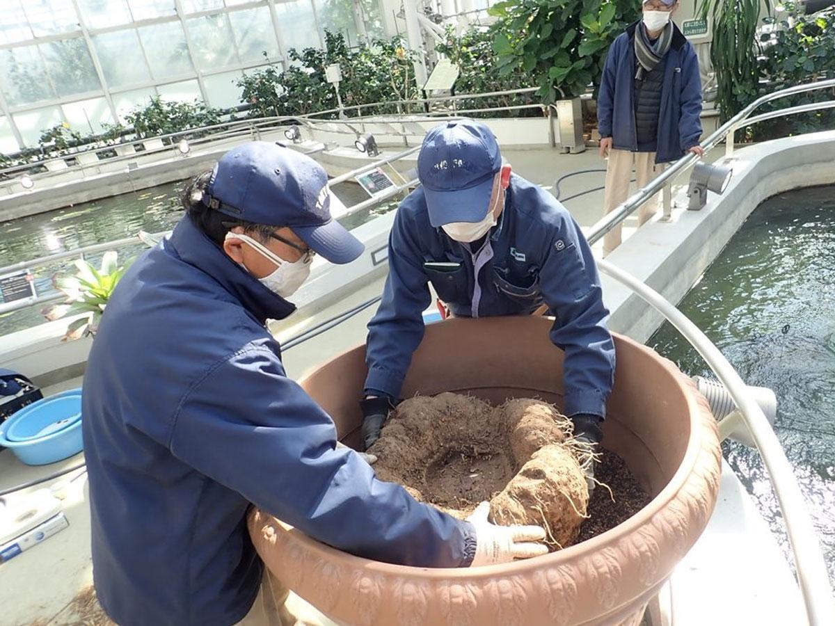 大きくて重いショクダイオオコンニャクの植え替え作業