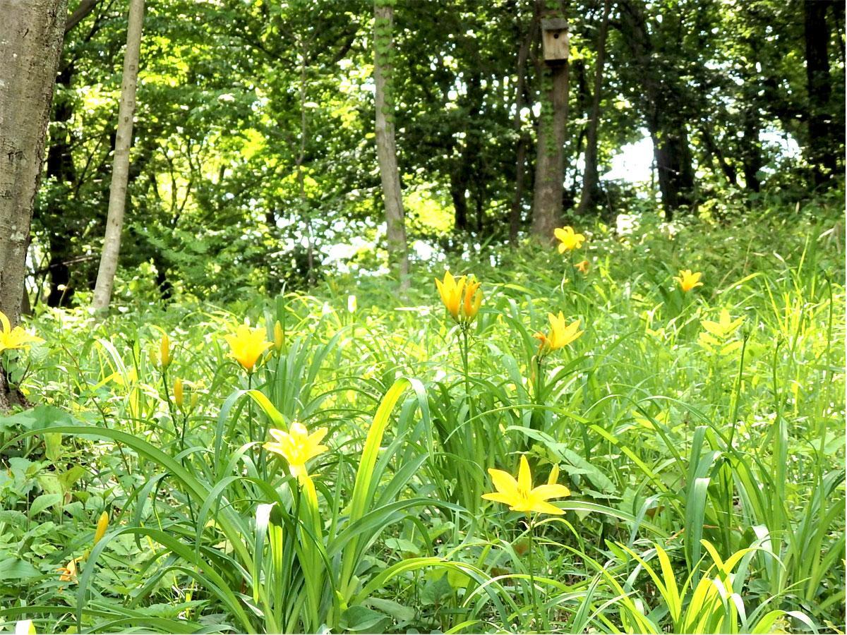 都立浅間山公園の雑木林に咲く希少種「ムサシノキスゲ」