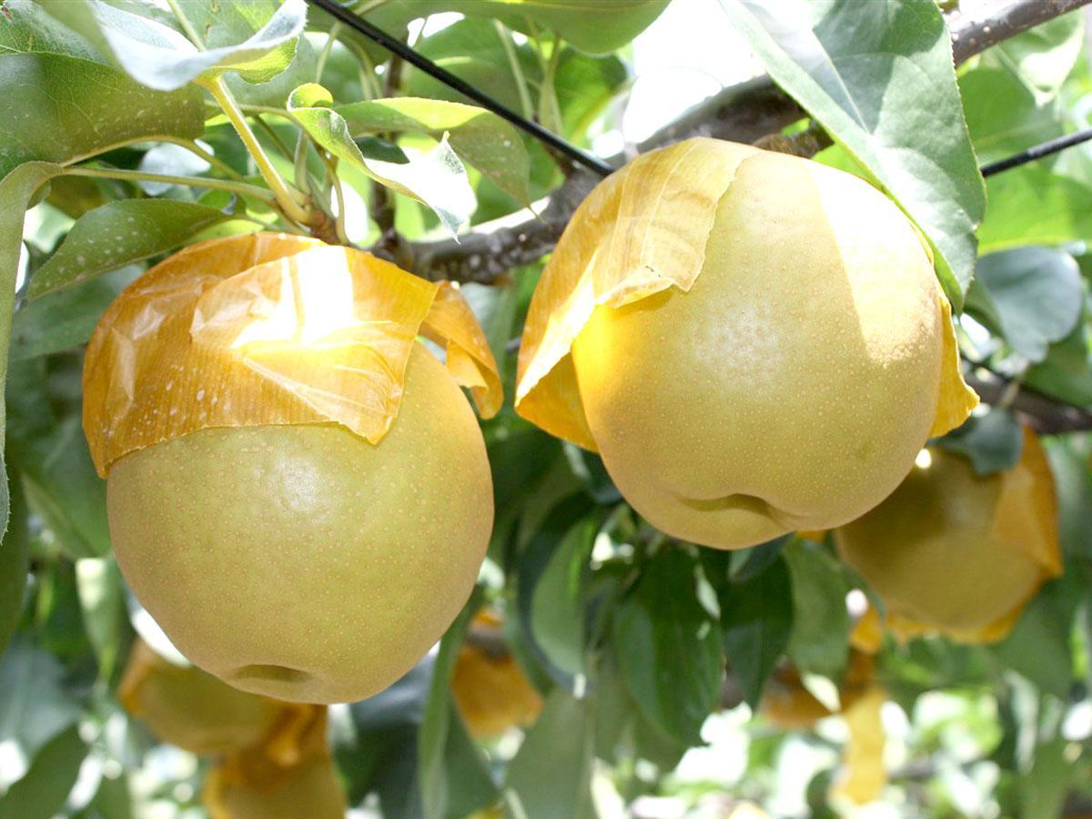 稲城市特産の梨
