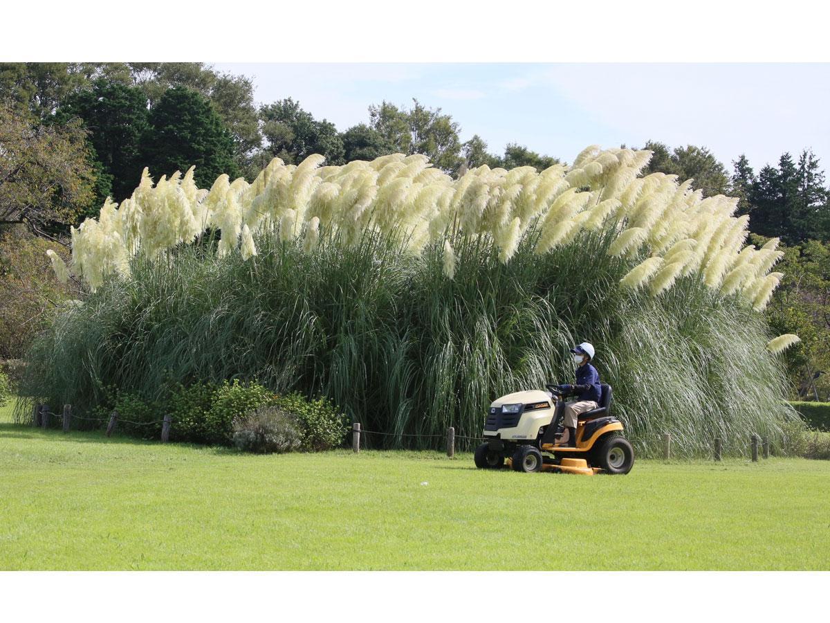 イネ科シロガネヨシ属のパンパスグラス(シロガネヨシ)。芝刈り機との比較でとても高いことが分かる