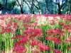 調布・野川公園が真っ赤に染まる 秋を告げる彼岸花が見頃