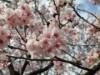 調布で「ハリウッドの大寒桜」が満開に 人も鳥もにぎわう春の訪れ