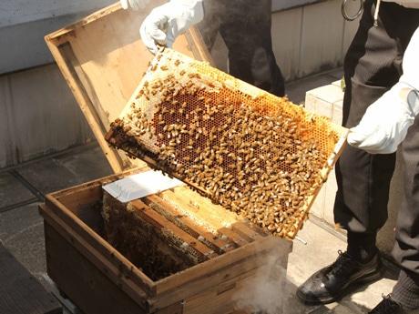江東区民になったミツバチ