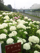 亀戸・旧中川水辺公園でアジサイ祭り 2000株が見頃