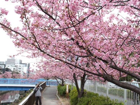 大横川沿いの河津桜
