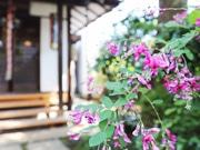 亀戸「龍眼寺」で萩が見頃 江戸の名所に秋の彩り