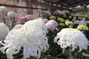亀戸天神社「菊まつり」盛況 色とりどりの500鉢、菊のスカイツリーも
