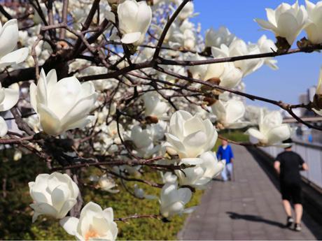 乳白色で肉厚の花びらのハクモクレン