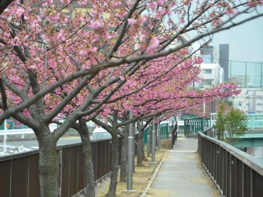 大横川付近の桜並木