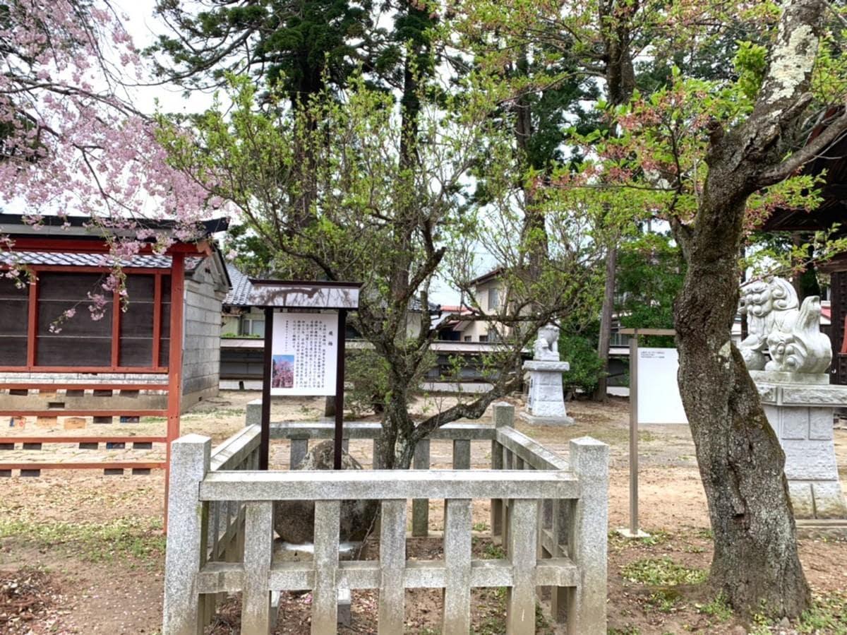 奥州八丁目天満宮に植えられている「飛梅」