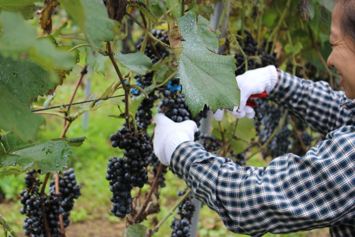 ブドウの収穫を楽しむ参加者ら