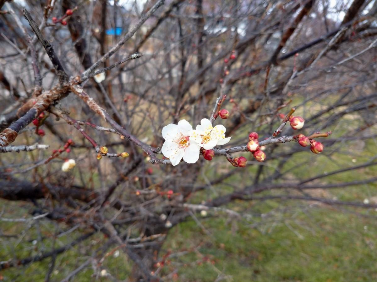福島市に咲いた梅の花
