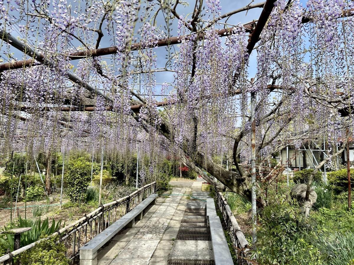 5分咲きの藤棚