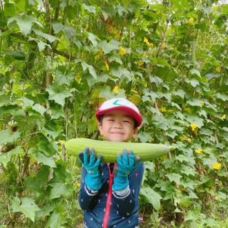 本宮でスキンケア商品用ヘチマ400本収穫 風評被害払しょく目指す