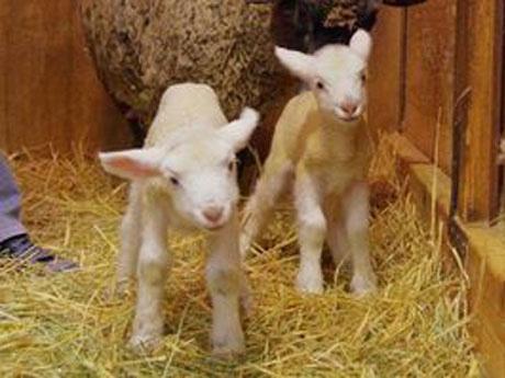 どうぶつふれあい広場で生まれた双子の羊。左が「ソール」、右が「ヒメル」