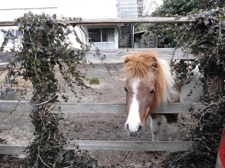 本町中心街地にある馬小屋とポニーのケンタ