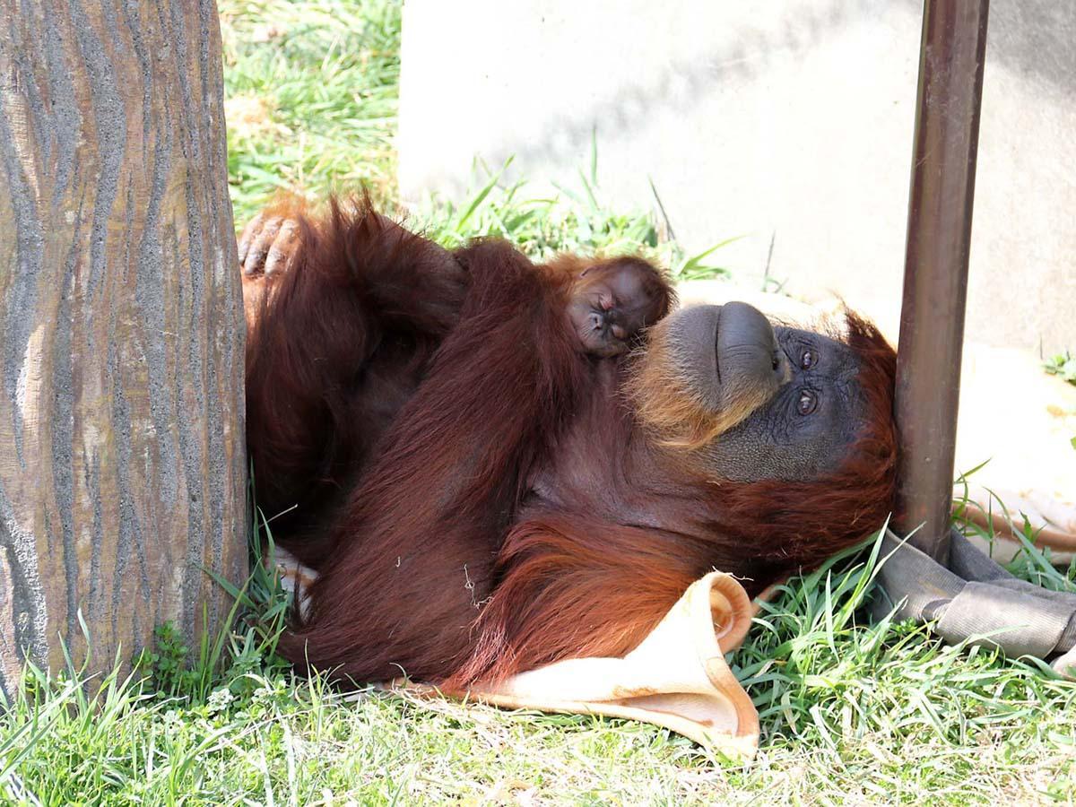 船橋・市川市動植物園でオランウータンの赤ちゃん誕生 早産も順調に育つ