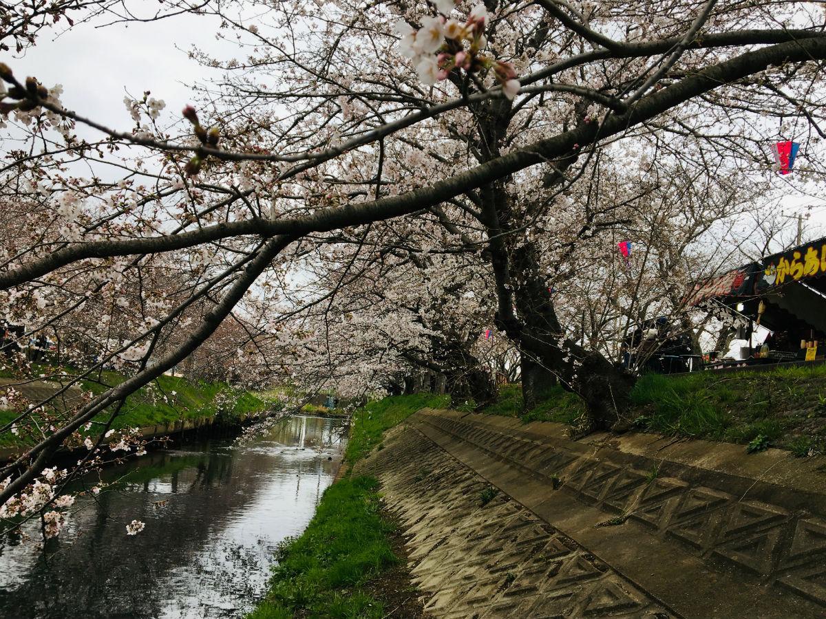 3月30日の海老川のソメイヨシ