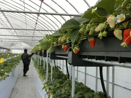 高設栽培の「丘の上の苺園」