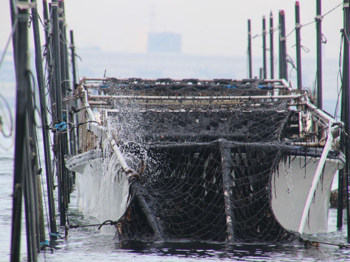 網に生育したノリを収穫