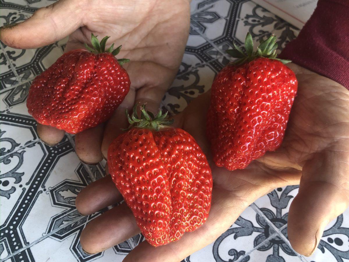 「丘の上のいちご園」で収穫されたイチゴ。品種は「やよいひめ」