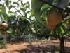 「船橋のなし」、空梅雨でも順調に生育 市内梨農家は出荷に向け準備