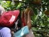 船橋・古和釜幼稚園生が佐由園で梨狩り 一般の梨狩りも受け入れへ