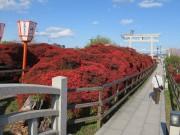 京都・長岡天満宮のキリシマツツジが開花 見頃は4月20日前後