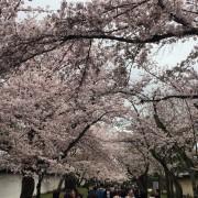 京都・豊臣秀吉最後の醍醐花見、一世一代の花見に掛ける情熱秘話