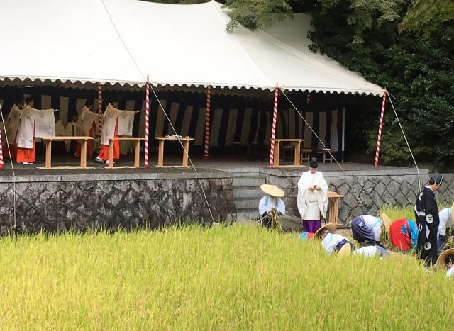 神楽舞の中、神田で稲刈りを行うすげがさ姿の男女