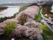 京都八幡・背割堤の桜に50万人 「さくらであい館」オープンや海外旅行客増加で