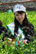 京田辺で玉露の茶摘みボランティア募集 茶品評会の日本一タイトル目指して