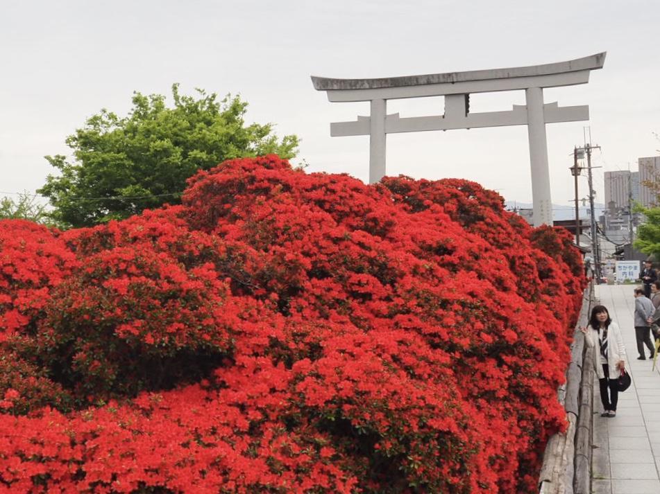 長岡天満宮のキリシマツツジ。約1000株のツツジが真っ赤に咲く姿は壮観