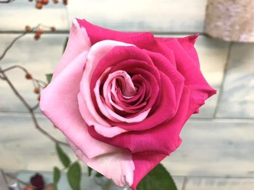 おくだばらえんで見つかったハーフ&ハーフの2色バラ