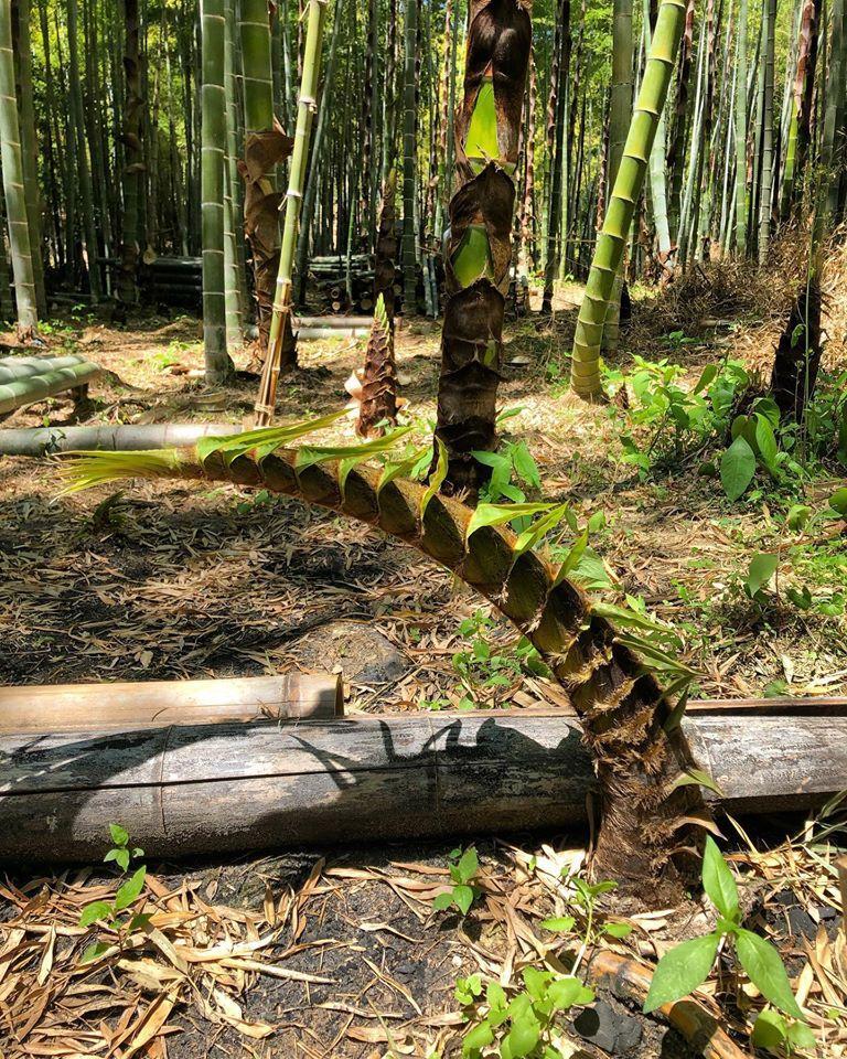 長岡京市の竹やぶで発見された「曲がりすぎたタケノコ」