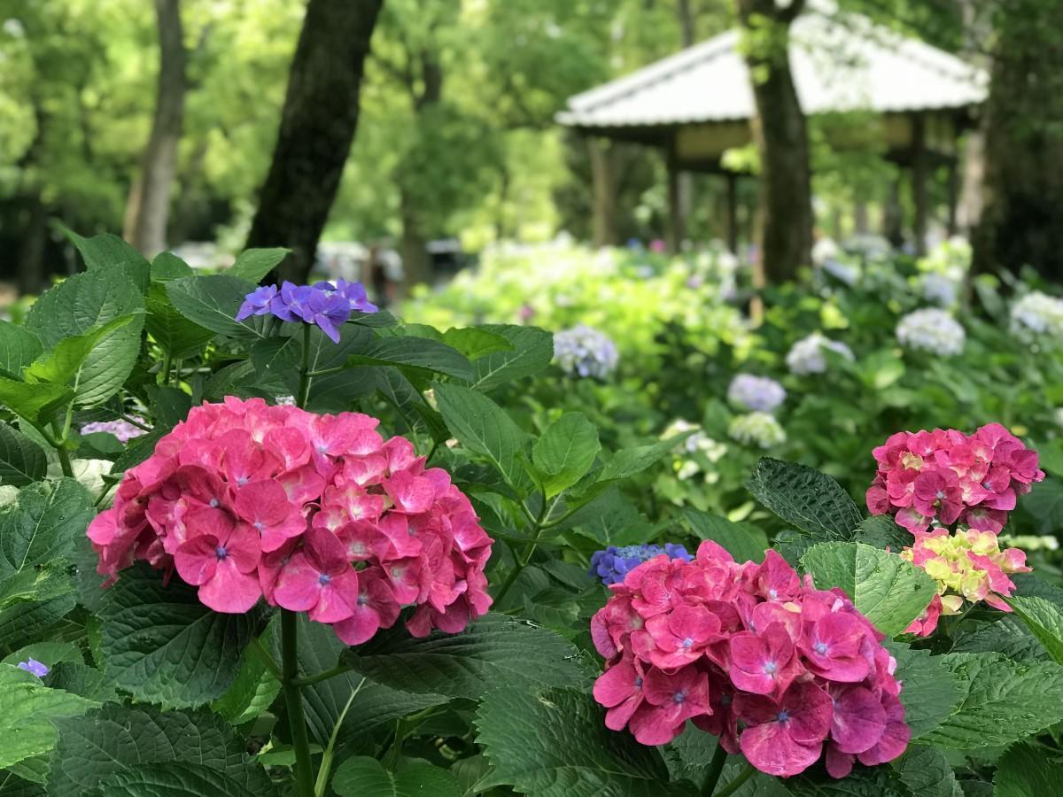 藤森神社「紫陽花苑」散策路のアジサイ