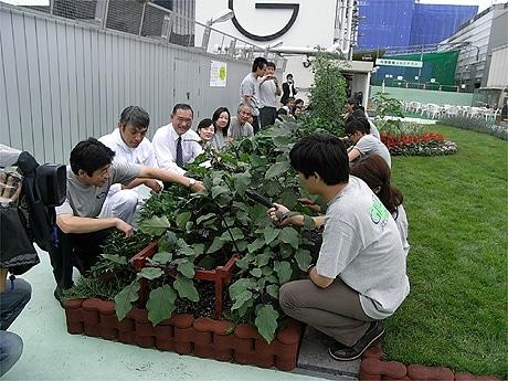 屋上菜園で初めて「銀座産」野菜を収穫