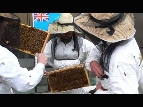 写真=巣箱から取り出した西洋ミツバチ。「日本ミツバチはおとなしく手で触っても大丈夫。駆除しようと巣をつついたりするので人間に向かってくるだけ」(田中副理事)