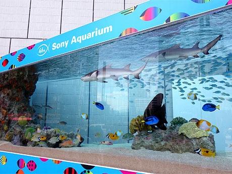 今年初登場のレモンザメも泳ぐソニーアクアリウムの大水槽