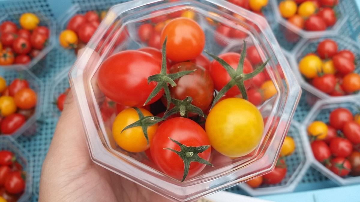「ミニトマトの日 誕生祭」に出品予定のミニトマト