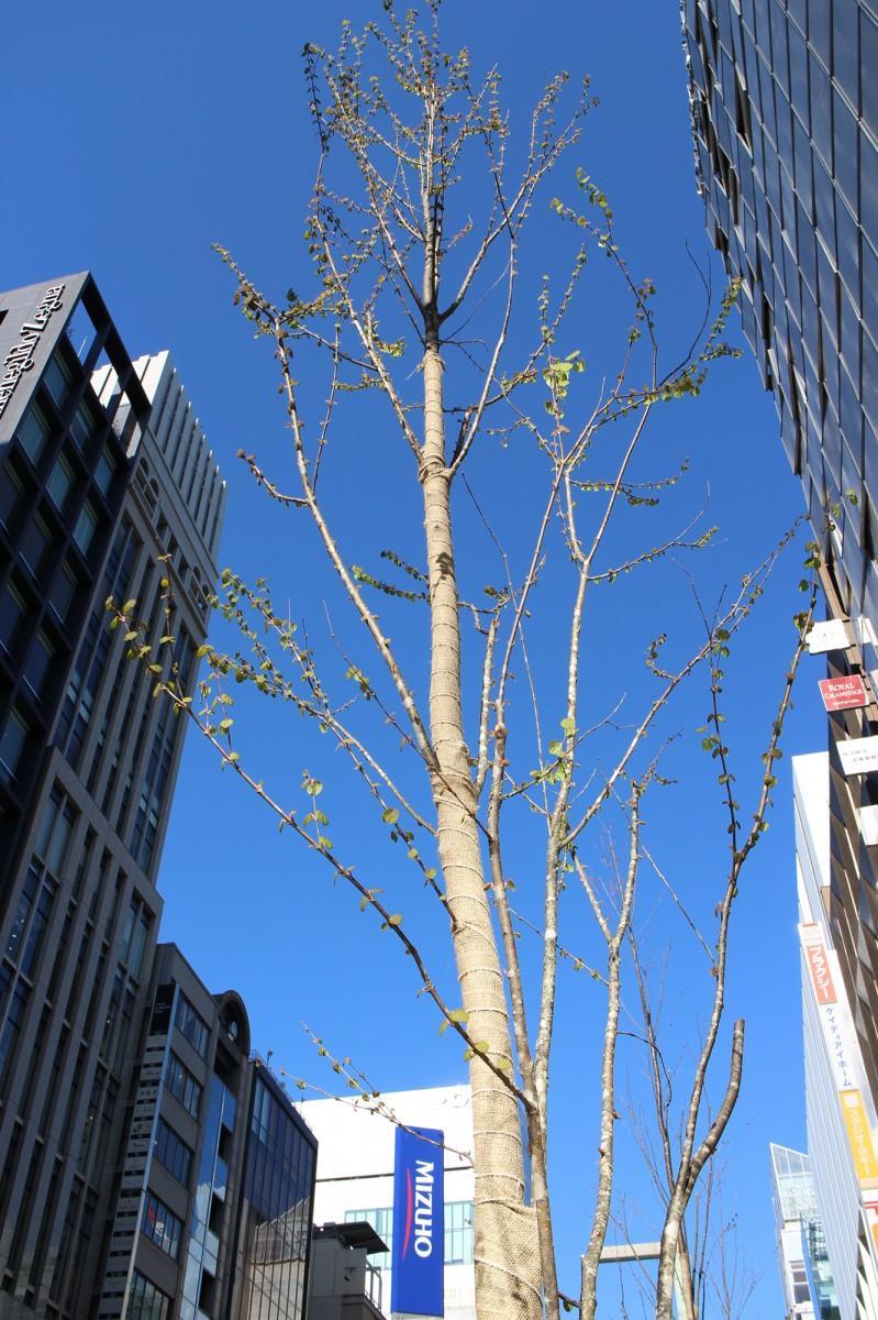 銀座通りのカツラの木