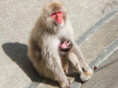 母猿のおっぱいを飲む猿の赤ちゃん