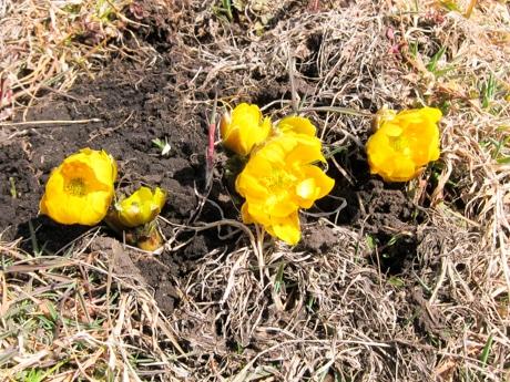 八戸・種差海岸に春を告げるフクジュソウの花 ウミネコも徐々に飛来