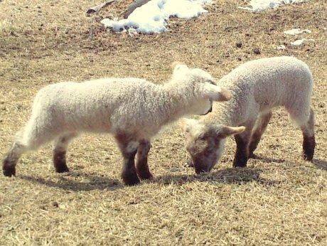 青森・おいらせ町の牧場で子羊誕生 双子が3組続く