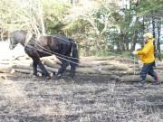 八戸の種差海岸で台風被害の倒木を馬搬 植生にも優しく