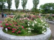 八戸市の八戸公園のバラ園が見頃に 200種900本が咲き誇る