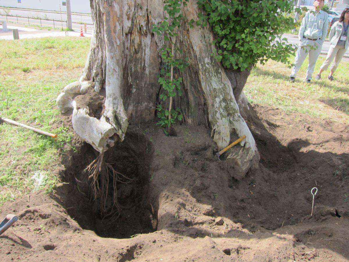 「毘沙門のイチョウ」の根