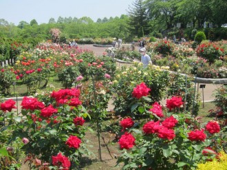 八戸公園ローズガーデンのバラが見頃に 190種・700本咲き誇る
