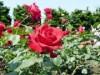 八戸公園「ローズガーデン」のバラが見頃に 公園内に230種770本